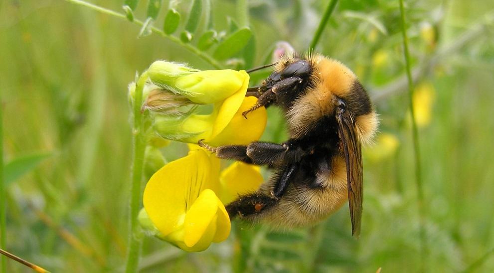 Bombus Arıları